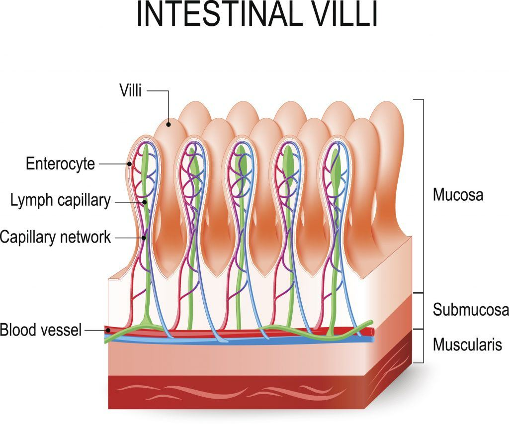 Intestinal villi in the small intestine.